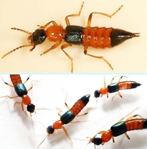 ระวังพิษจากแมลงก้นกระดก... ที่มาพร้อมกับภัยหนาว ผิวหนังอาจพองได้ !!?