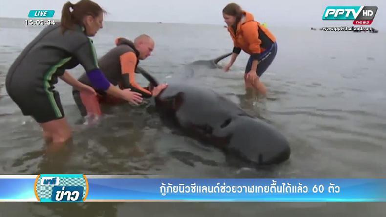 กู้ภัยนิวซีแลนด์ช่วยวาฬเกยตื้นได้แล้ว 60 ตัว