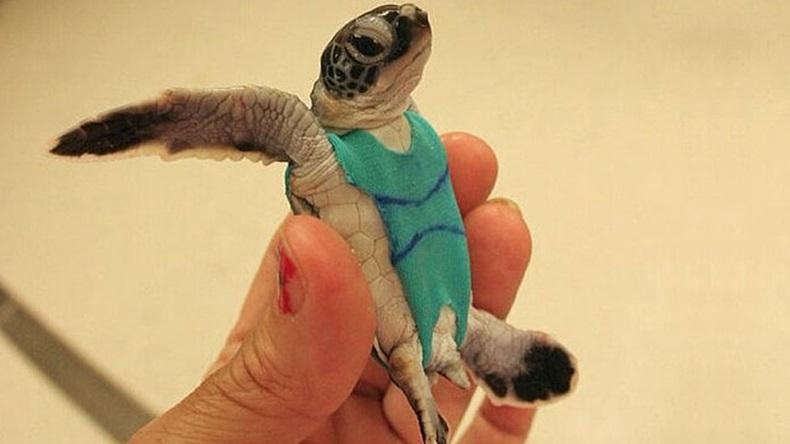 น่ารักป่ะ? เจ้าเต่า ออสเตรเลีย สวมชุดว่ายนํ้าเป็นแบบให้นักวิจัย