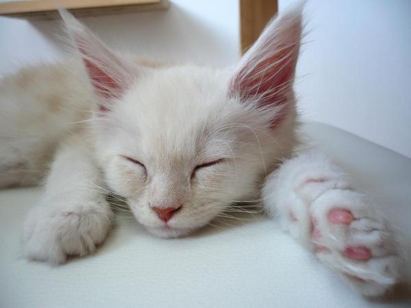ค้นพบแมวเซเลบฯ ตัวใหม่  ไจแอนท์คิตตี้