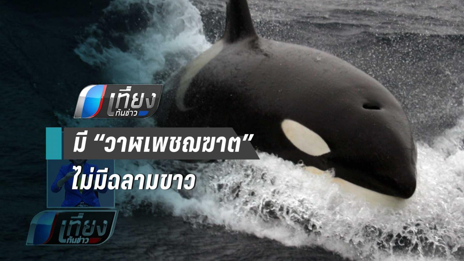 """ผลวิจัยชี้ """"ฉลามขาว"""" กลัว """"วาฬเพชฆฆาต"""" เข้าไส้"""