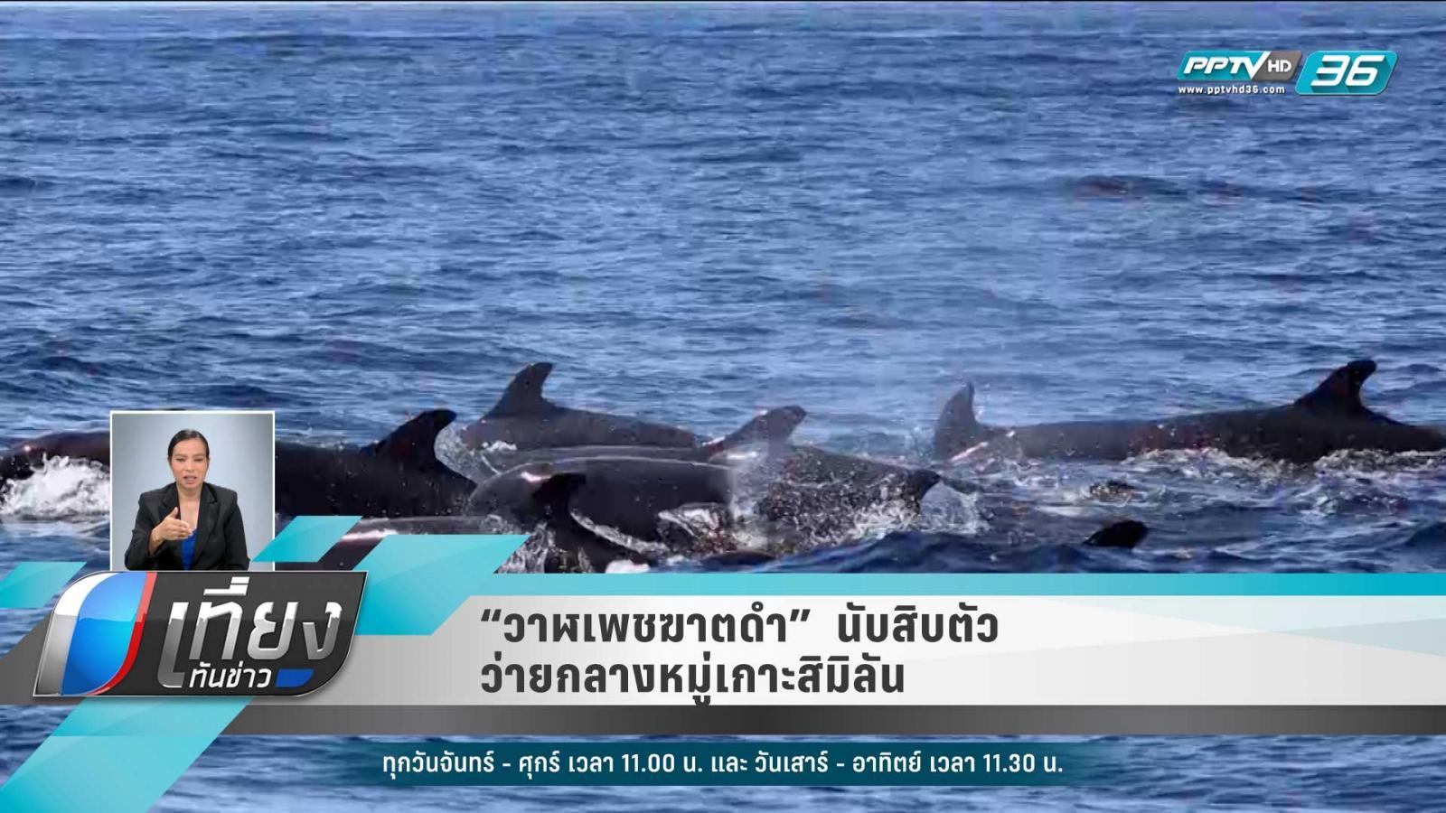 """""""วาฬเพชฌฆาตดำ""""  นับสิบตัว ว่ายกลางหมู่เกาะสิมิลัน"""