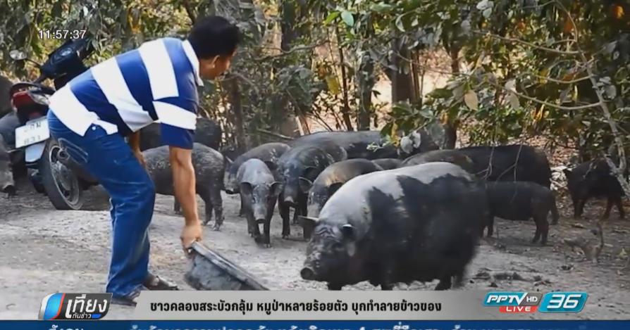 ชาวคลองสระบัวกลุ้ม หมูป่าหลายร้อยตัว บุกทำลายข้าวของ
