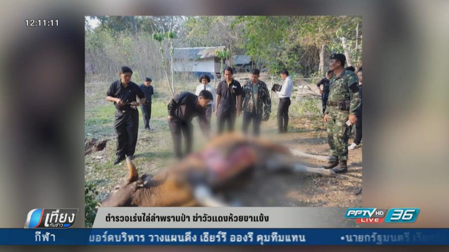 ตำรวจเร่งไล่ล่าพรานป่าฆ่าวัวแดงห้วยขาแข้ง