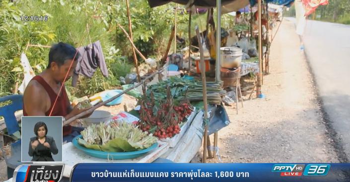 ชาวบ้านแห่เก็บแมงแคง ราคาพุ่งโลละ1,600 บาท
