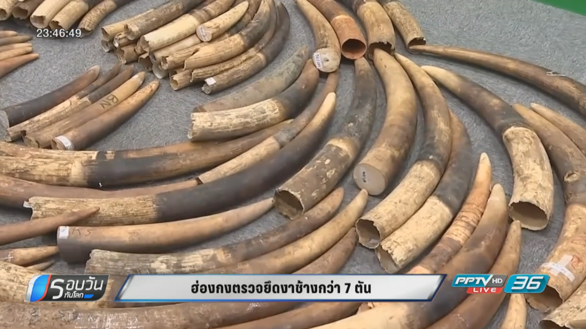 ฮ่องกงตรวจยึดงาช้างกว่า 7 ตัน มูลค่ารวม 300 ล้านบาท