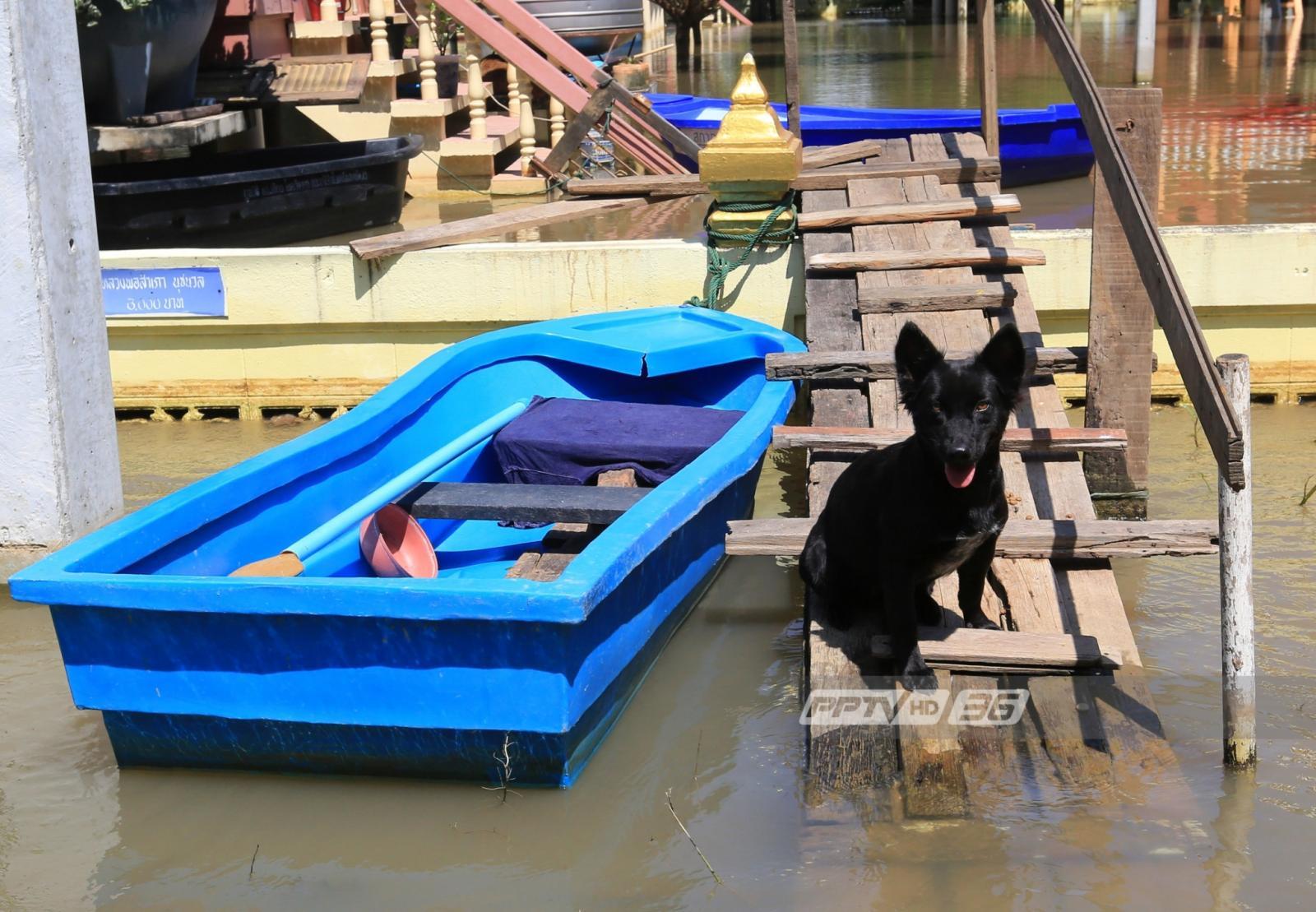 สุนัข-แมว จ.อยุธยา ผจญน้ำท่วม ขาดแคลนอาหาร