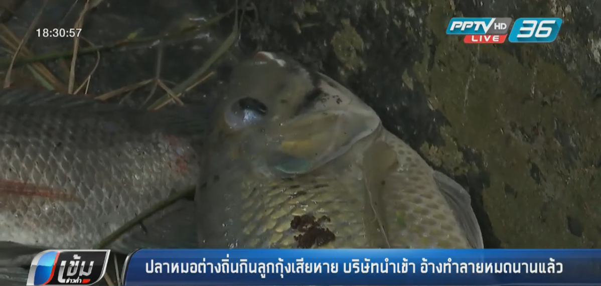 ปลาหมอต่างถิ่นกินลูกกุ้งเรียบ ชาวบ้านสงสัยมีบริษัทยักษ์นำเข้ามาวิจัย