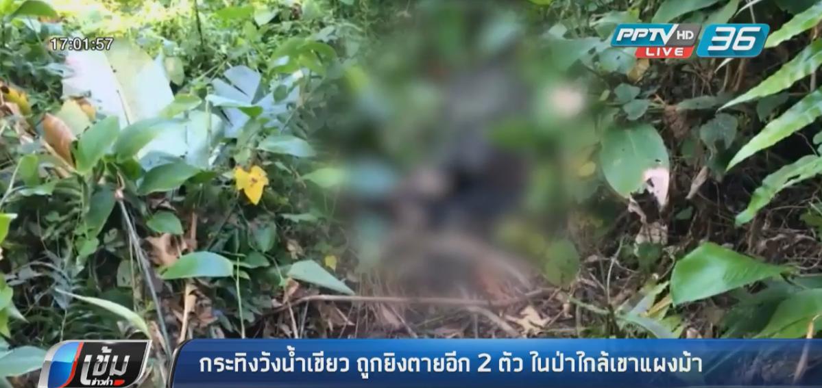 กระทิงวังน้ำเขียว ถูกยิงตายอีก 2 ตัว พบหนึ่งตัวถูกแล่เนื้อ