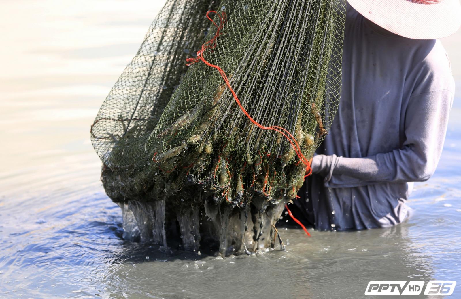 ผู้เลี้ยงกุ้งสมุทรสาคร ร้องเรียนสารพิษโรงงานทำกุ้งตายยกบ่อ (คลิป)