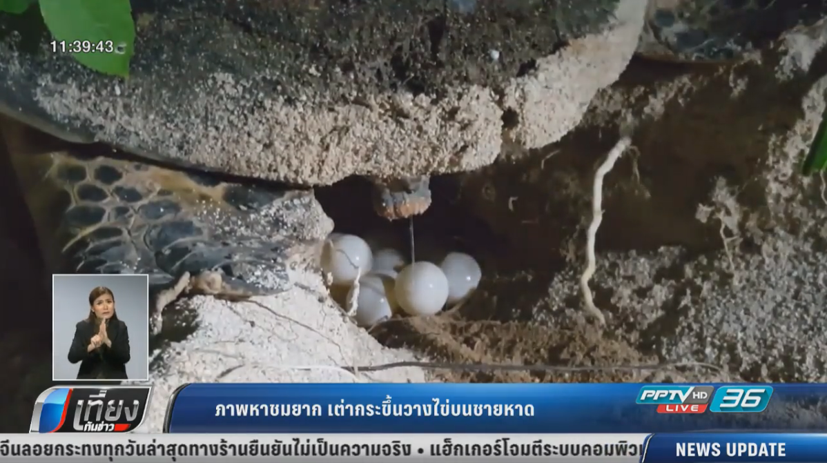 ภาพหาชมยาก! เต่ากระขึ้นวางไข่บนชายหาดเกาะทะลุ ประจวบฯ