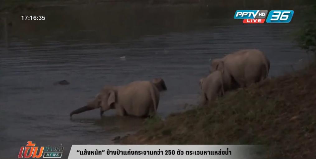 """""""แล้งหนัก"""" ช้างป่าแก่งกระจานกว่า 250 ตัว ตระเวนหาแหล่งน้ำ"""