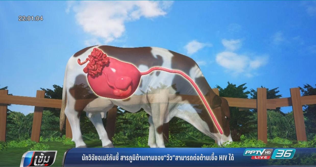 """นักวิจัย ชี้ สารภูมิต้านทานใน """"วัว"""" ต้านเชื้อเอชไอวีได้"""