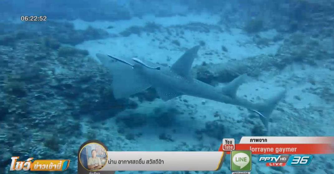 โผล่อีกตัวฉลามโรนินกลางตลาดสดภูเก็ต
