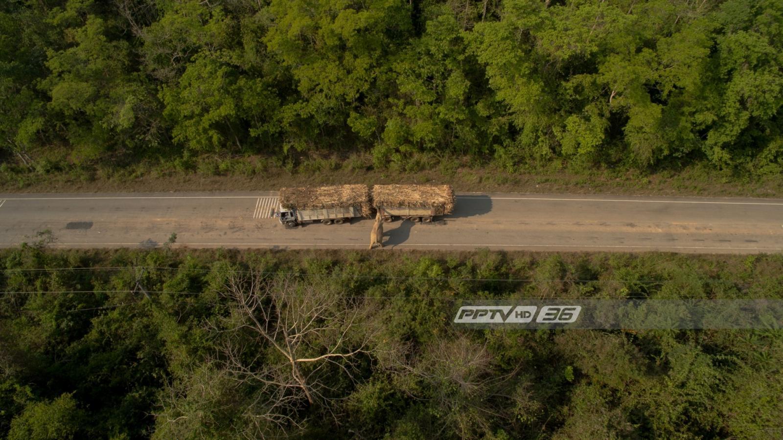 ตำรวจแจ้งข้อหาคนขับรถกระบะชนช้างป่าเขาอ่างฤาไนฐานขับรถโดยประมาท