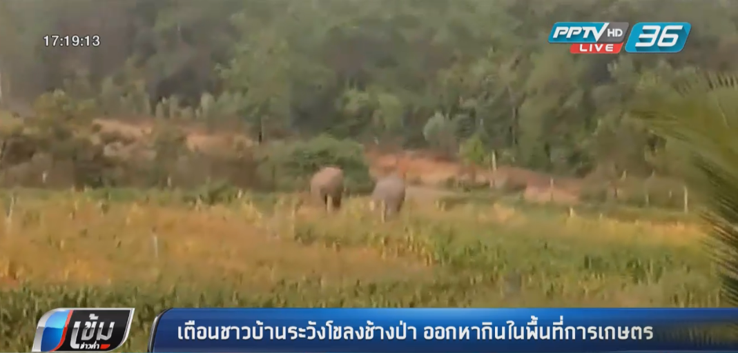 เตือนชาวบ้านระวังโขลงช้างป่า ออกหากินในพื้นที่การเกษตร