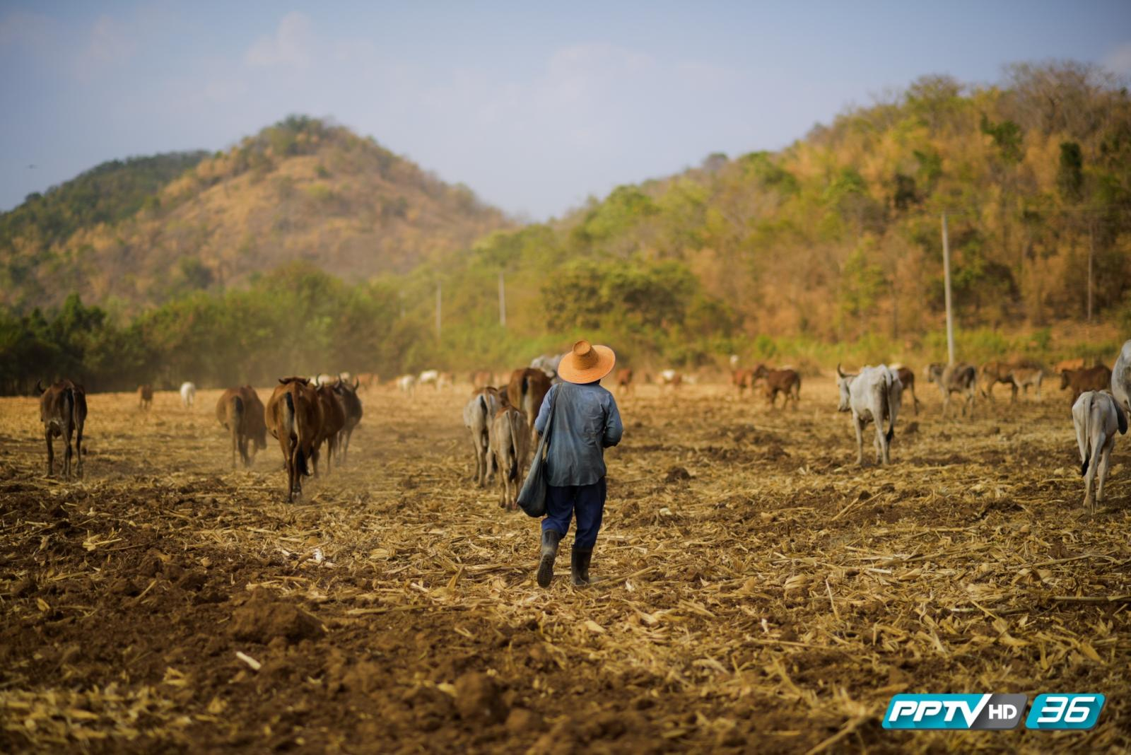 คนเลี้ยงวัว / ภัยแล้ง / สุพรรณบุรี