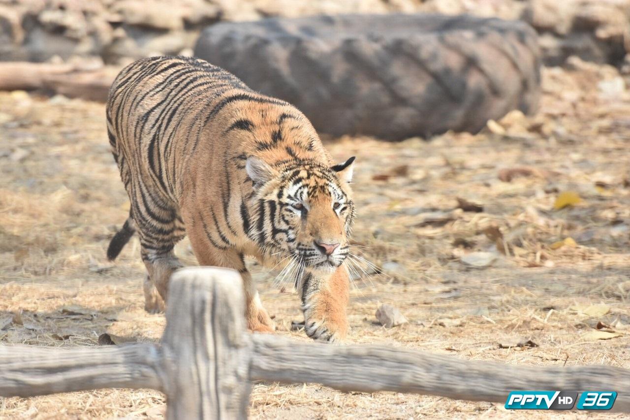 วัดป่าหลวงตามหาบัว ค้านไม่ให้ย้ายเสือ