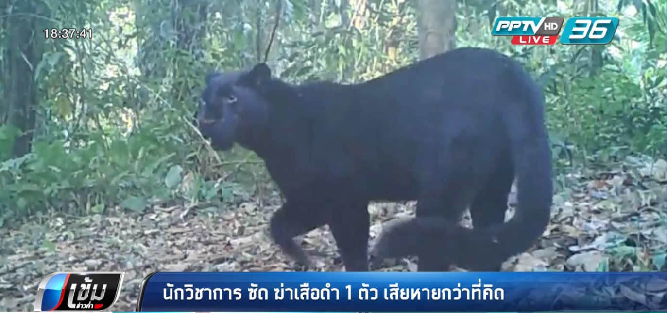 ประธานมูลนิธิโลกสีเขียวซัด ฆ่าเสือดำ 1 ตัว เสียหายกว่าที่คิด