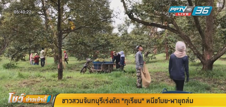 """ชาวสวนจันทบุรีเร่งตัด """"ทุเรียน"""" หนีขโมย-พายุถล่ม"""
