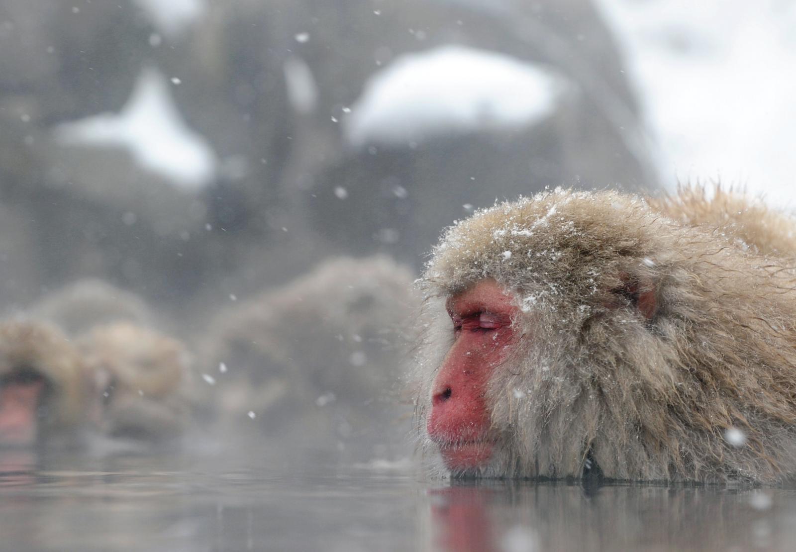 เผยลิงหิมะญี่ปุ่นแช่น้ำร้อนเพื่อคลายเครียด-เพิ่มโอกาสสืบพันธุ์