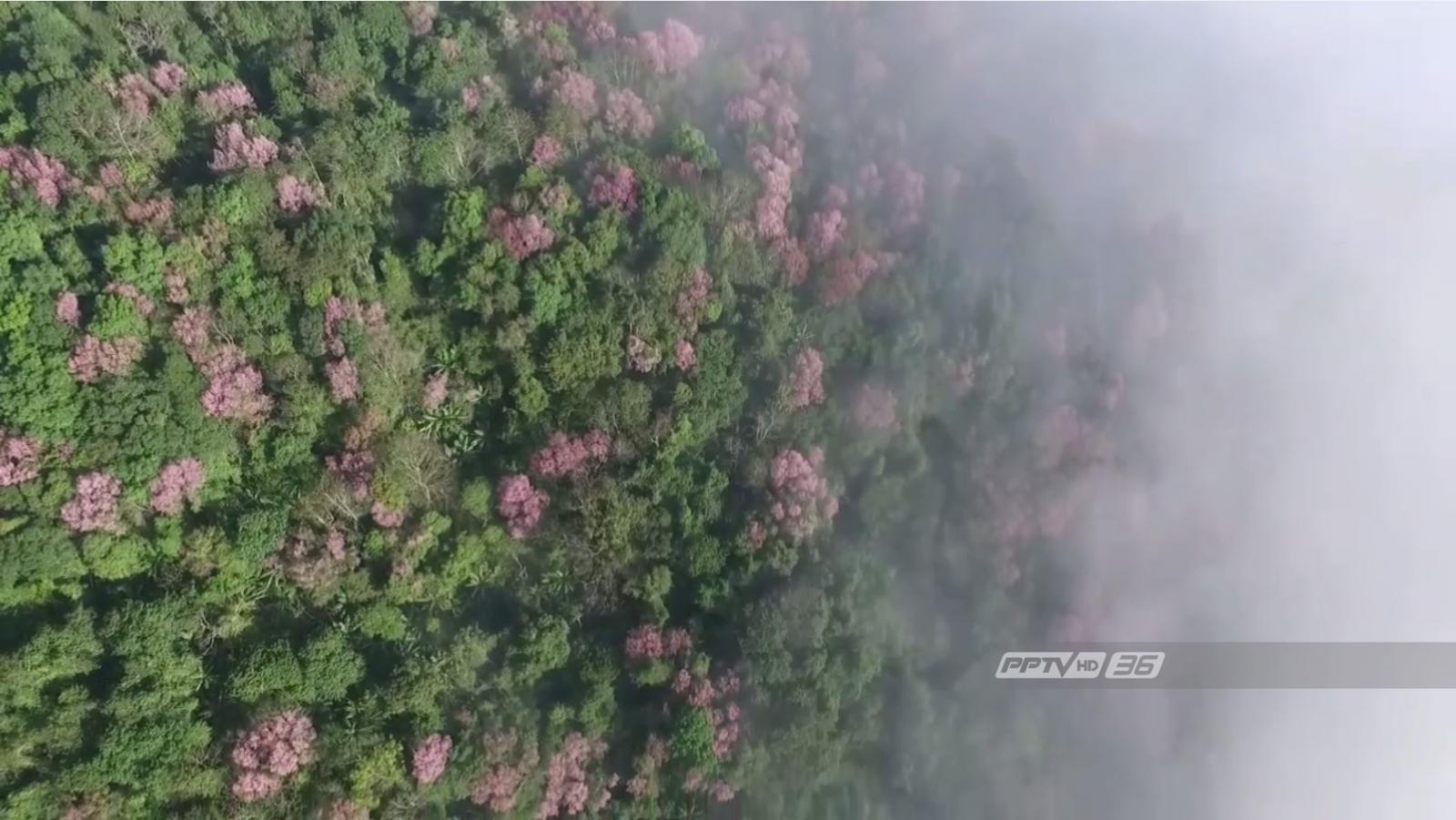 ซากุระเมืองไทยในสายหมอก บานสะพรั่งเต็มภูทับเบิก