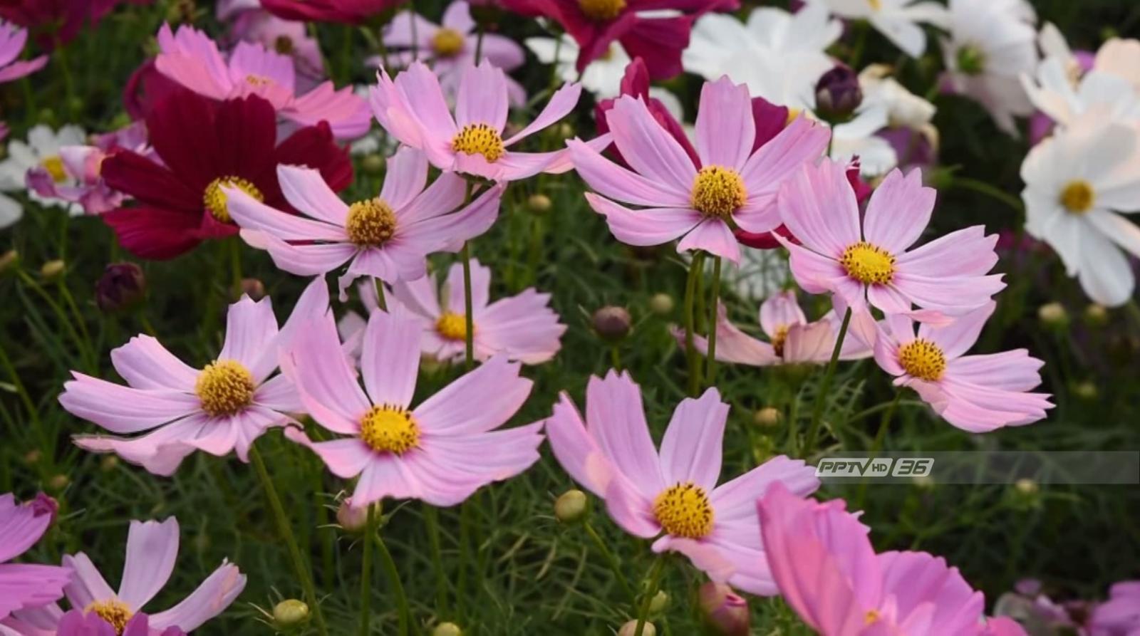 นักท่องเที่ยวแห่ชมเขาวงกตทุ่งปอเทือง-ดอกคอสมอส จ.กาญจนบุรี
