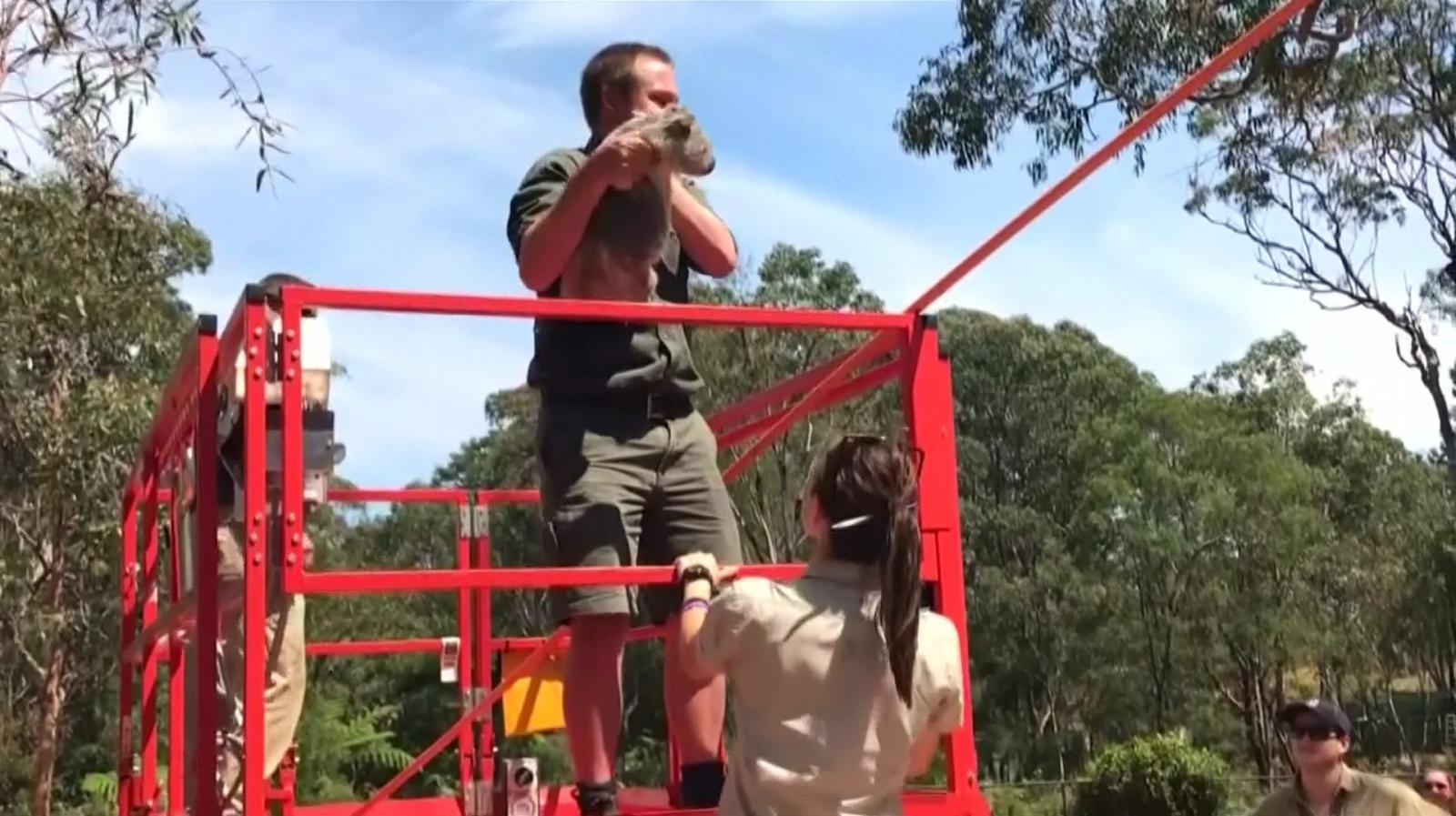 """เจ้าหน้าที่สวนสัตว์ออสซี่ช่วย """"ลูกโคอาลา"""" ติดบนต้นไม้สูง"""