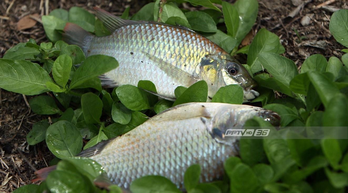 """พบ """"ปลาหมอสีคางดำ"""" อยู่ในน้ำทะเลได้ หวั่นกระทบประมงพื้นบ้าน"""