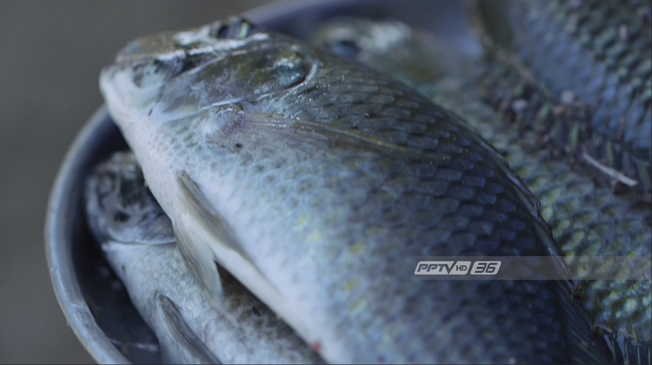 """บุกครัวพิสูจน์รสชาติ """"ปลาหมอสีคางดำ"""" กินได้แต่ไม่นิยม"""