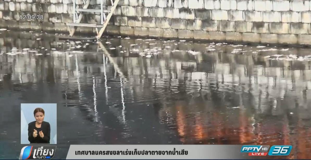 เทศบาลนครสงขลาเร่งเก็บปลาตายจากน้ำเสีย