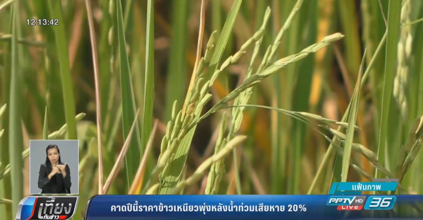 คาดปีนี้ราคาข้าวเหนียวพุ่งหลังน้ำท่วมเสียหาย 20%