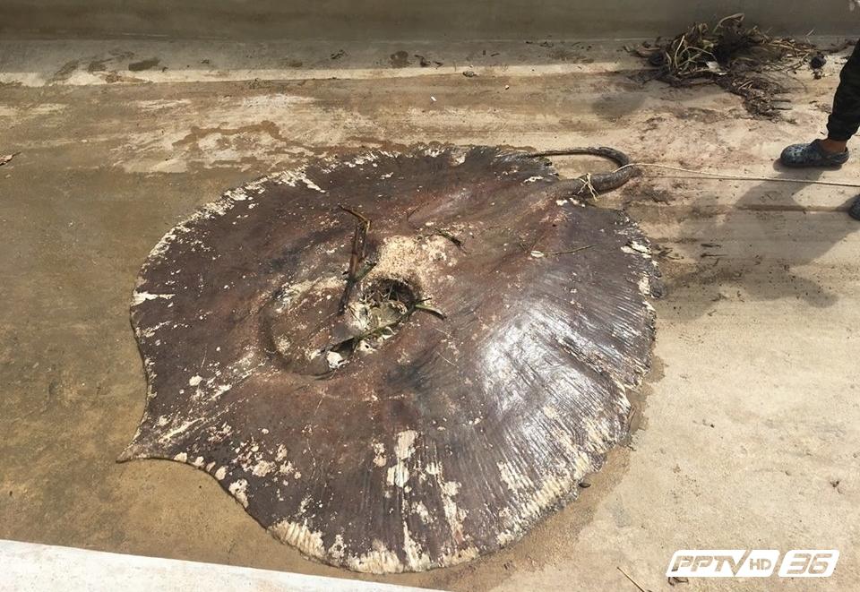 """คพ. ตั้งสมมติฐาน """"กากส่า"""" จากโรงงานเอทานอล ราชบุรี ต้นเหตุกระเบนราหูแม่กลอง ตาย 50 ตัว"""