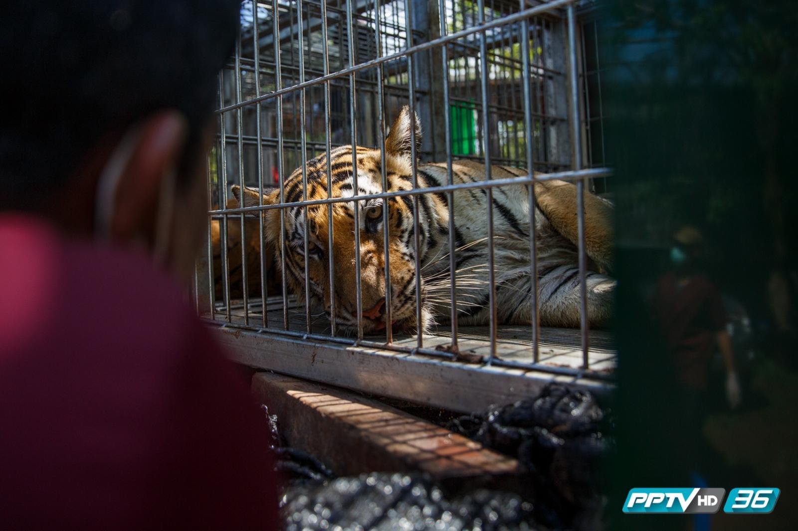 เร่งพิสูจน์ซากลูกเสือโยงขบวนการค้าสัตว์ข้ามชาติ (คลิป)