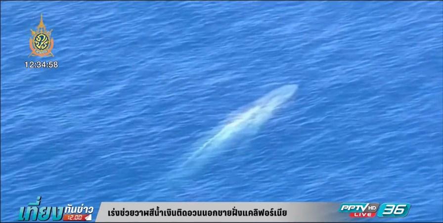 เร่งช่วยวาฬสีน้ำเงินติดอวนนอกชายฝั่งแคลิฟอร์เนีย