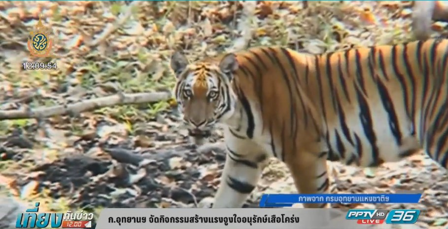 ก.อุทยานฯ จัดกิจกรรมสร้างแรงจูงใจอนุรักษ์เสือโคร่ง