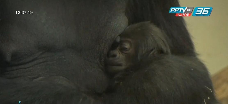 กอริลลาแอฟริกาคลอดลูกตัวแรกที่สวนสัตว์สหรัฐฯ