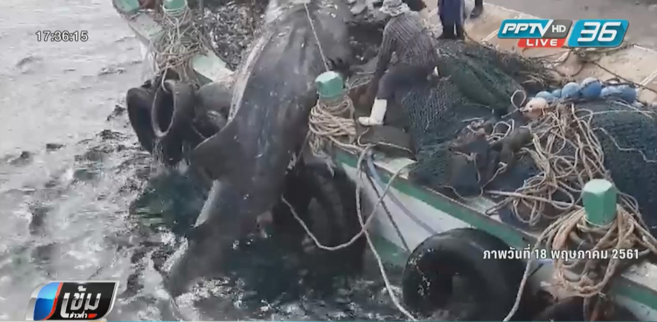 """นักอนุรักษ์กระบี่ เชื่อ เรือประมงไม่ได้เจตนาช่วย """"ฉลามวาฬ"""""""