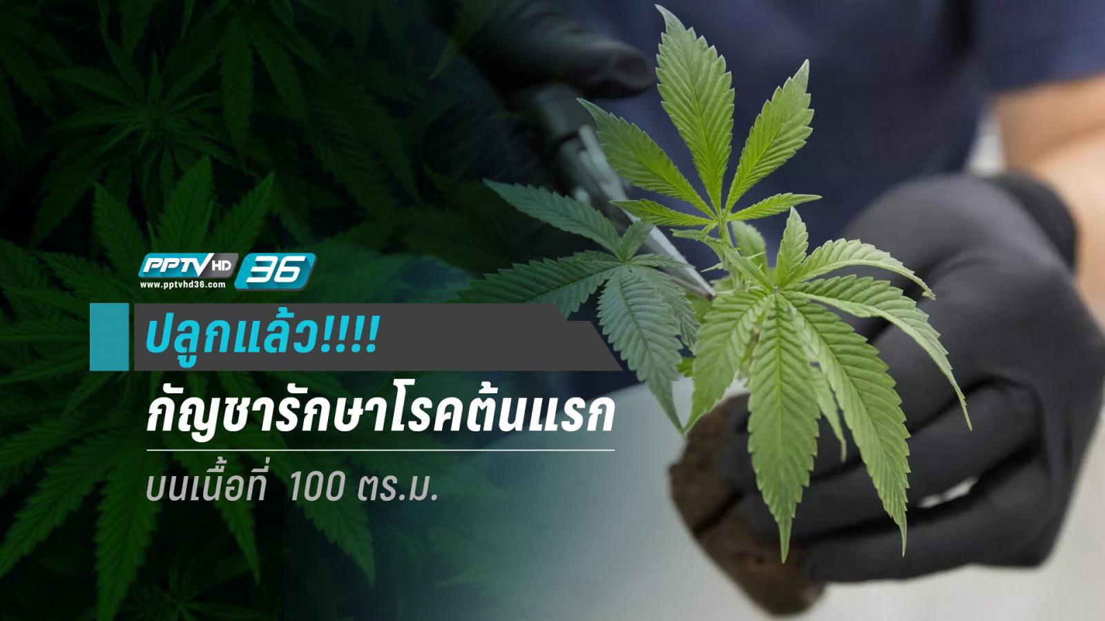 ปลูกแล้ว!!! กัญชารักษาโรคต้นแรกในอาเซียน