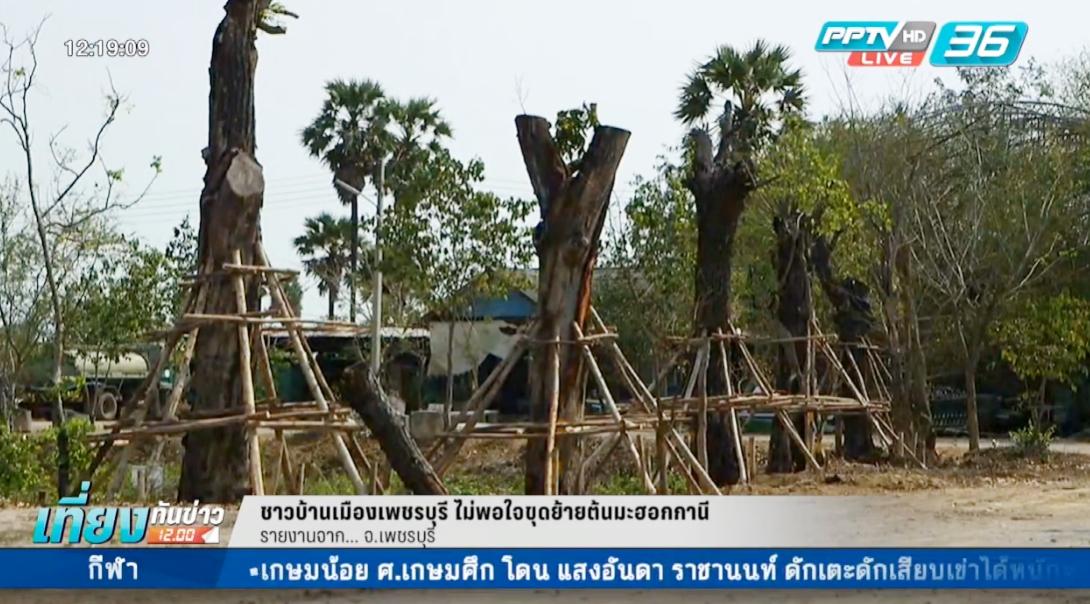 """ชาวบ้านเมืองเพชรบุรี ไม่พอใจขุดย้าย """"ต้นมะฮอกกานี"""""""