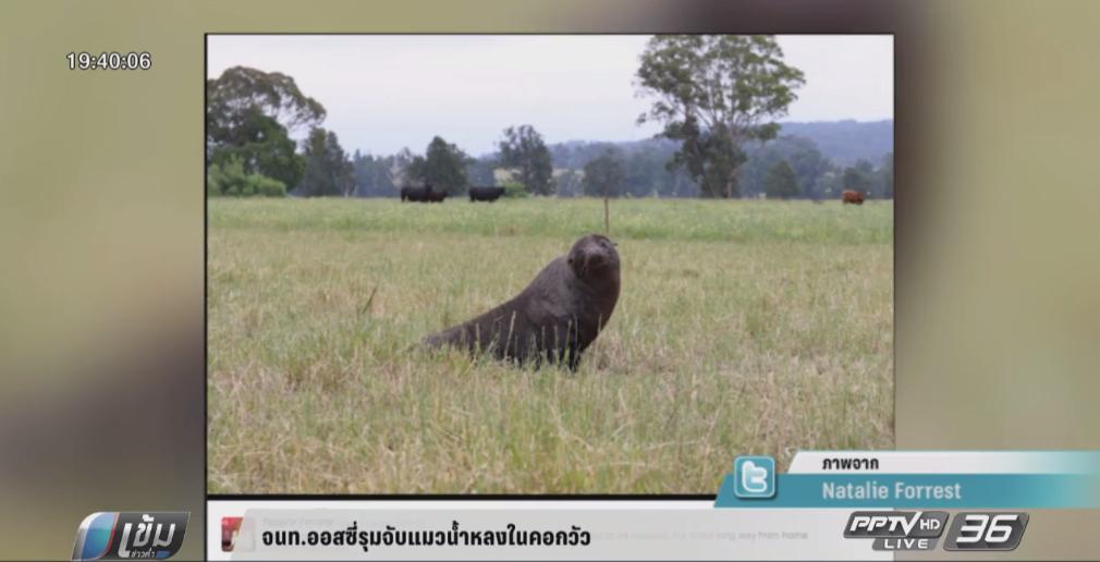 จนท. ออสซี่รุมจับแมวน้ำหลงในฟาร์มเลี้ยงวัว