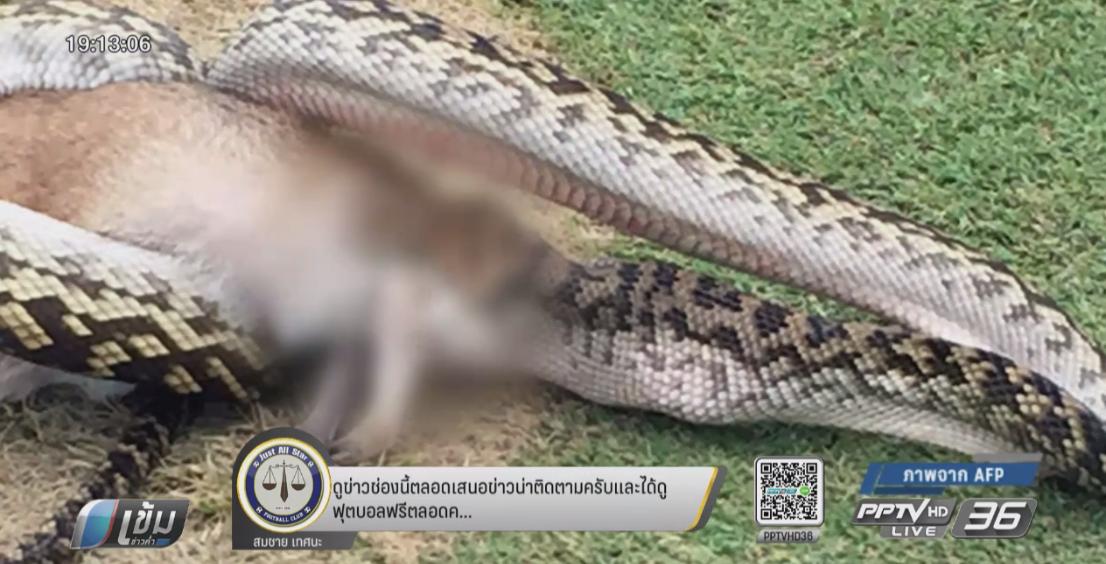 """""""งูเหลือมยักษ์"""" เขมือบ """"วอลลาบี"""" กลางสนามกอล์ฟในออสเตรเลีย"""