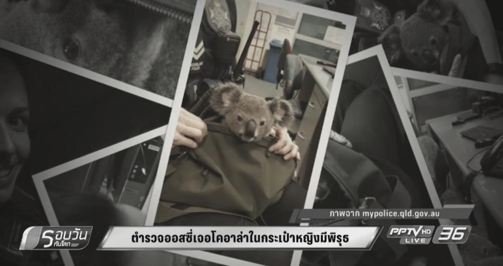 ตำรวจออสซี่พบลูกโคอาล่าในกระเป๋าผู้ต้องสงสัย