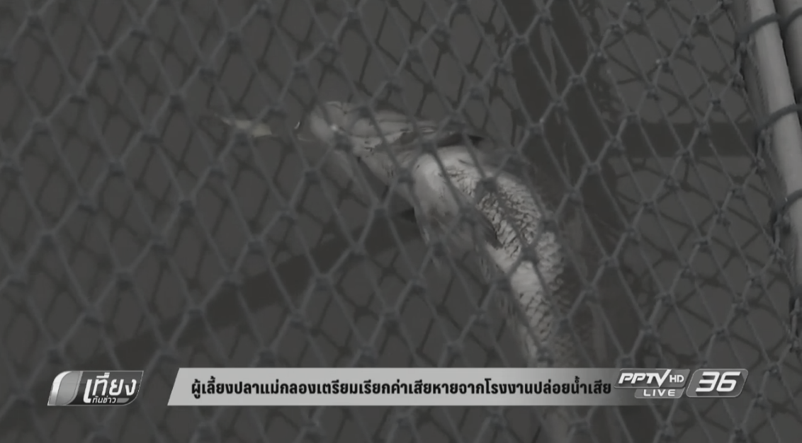 ผู้เลี้ยงปลาแม่กลองเตรียมเรียกค่าเสียหายจากโรงงานปล่อยน้ำเสีย (คลิป)