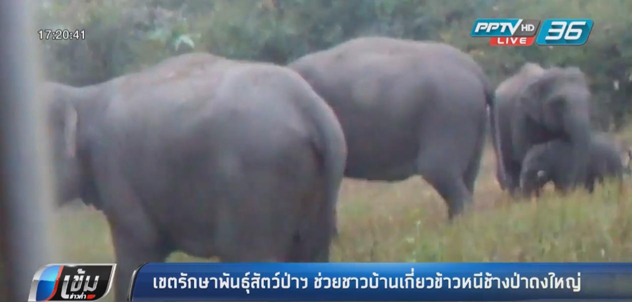 เขตรักษาพันธุ์สัตว์ป่าฯบุรีรัมย์ ช่วยชาวบ้านเกี่ยวข้าวหนีช้างป่าดงใหญ่