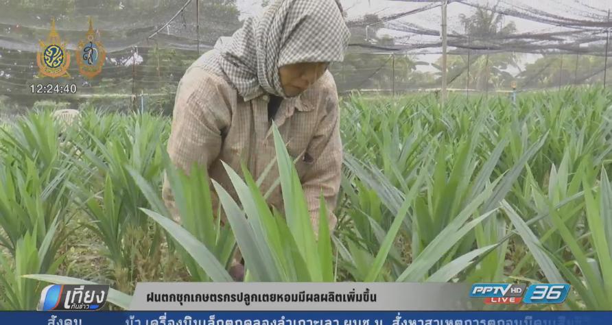ฝนตกชุก! เกษตรกรปลูกเตยหอมมีผลผลิตเพิ่มขึ้น