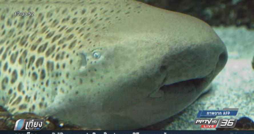 นักวิทยาศาสตร์งง! ฉลามเสือดาวในออสเตรเลียออกลูกโดยไม่ได้ผสมพันธุ์ (คลิป)