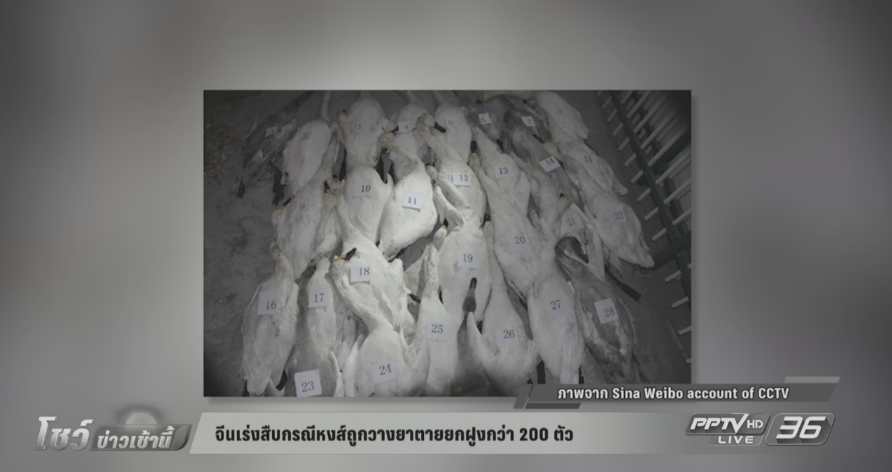 จีนเร่งสืบกรณีหงส์ถูกวางยาตายยกฝูง 200 ตัว