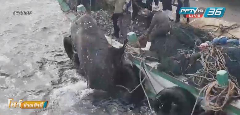 """""""ไต๋เรือ"""" ปฏิเสธไม่ได้จับฉลามวาฬ ยันแค่ติดอวน"""