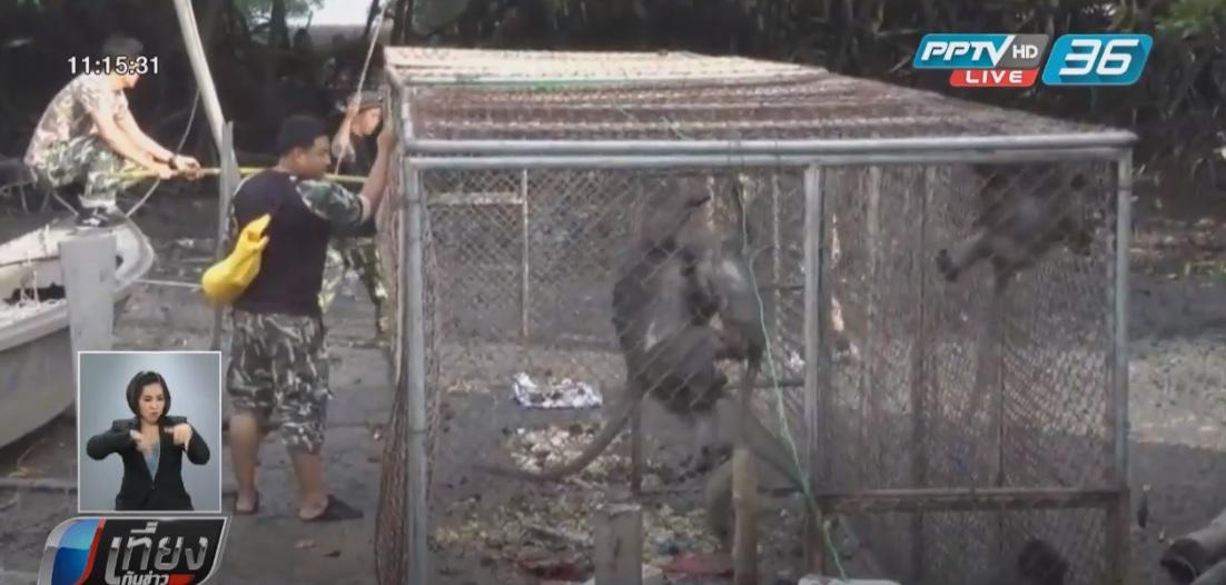 วางกรงดักจับฝูงลิงบ้านยามูส่งทำหมัน